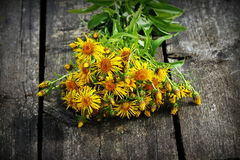 Inula helenium or horse-heal or elfdock yellow flowers with green on wooden background. Medical plant contains a lot of. Essential oils, saponins, inulin royalty free stock photo