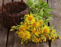 Free Inula Helenium Or Horse-heal Or Elfdock Yellow Flowers With Green On Wooden Background. Medical Plant Contains A Lot Of Stock Image - 104739551