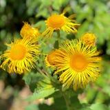 Inula. Hookeri, a bright yellow thin petal daisy garden flower stock image