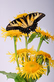 Inula, yellow flower with butterfly Royalty Free Stock Photography