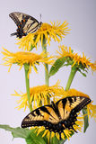 Inula, yellow flower with butterfly Royalty Free Stock Image