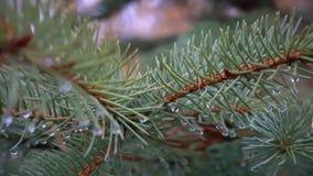 Inumidisca su un ramo del larice e dell'abete rosso stock footage