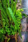 Inumidisce la goccia sulle foglie della pianta Fotografia Stock Libera da Diritti
