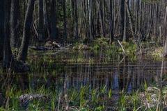 Inundaciones anuales de la primavera en los bosques Belorussian Imagen de archivo libre de regalías