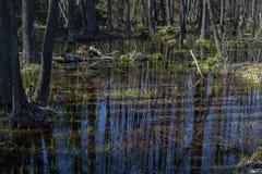 Inundaciones anuales de la primavera en los bosques Belorussian Foto de archivo libre de regalías