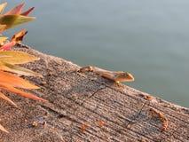 Invånare av kameleontkamouflage som fortlever i natur Arkivfoto