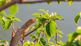 Invånare av kameleontkamouflage som fortlever i natur Fotografering för Bildbyråer