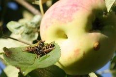 Invasión de las avispas en la cosecha de las manzanas Fotos de archivo
