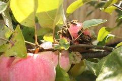 Invasión de las avispas en la cosecha de las manzanas Imagenes de archivo