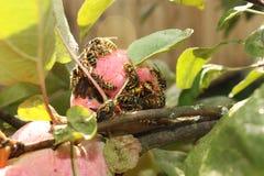 Invasión de las avispas en la cosecha de las manzanas Foto de archivo