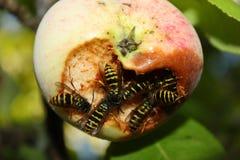 Invasión de las avispas en la cosecha de las manzanas Foto de archivo libre de regalías