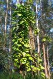 Invaside filodendron dusi rodzimego drzewa w Hawaje Zdjęcia Stock