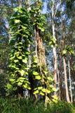 Invaside filodendron dusi rodzimego drzewa w Hawaje Zdjęcia Royalty Free