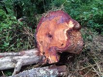 Invasion of the forest Tree cut in the forest. Cut environment forest invasion tree plant trunk wood destruction log ecology conservation green nature lumber Stock Photography