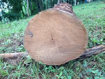 Invasion of the forest Tree cut in the forest. Cut environment forest invasion tree plant trunk wood destruction log ecology conservation green nature lumber Stock Photo