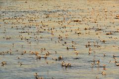 An Invasion of Long-tailed Mayfly in Sunset Light