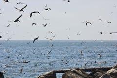 Invasione degli uccelli di mare Fotografia Stock