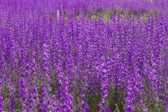 Invasione dei fiori di ajacis di vonsolida che riguardano un paesaggio porpora in primavera immagine stock