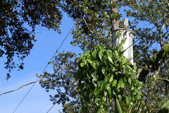 Invasive air potato vines overgrowing a pole transformer Stock Images