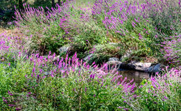 Invasive färgrik växt i Michigan USA arkivfoto