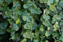 Invasive plant English Ivy. Hedera helix a vining invasive plant used as an ornamental Stock Image