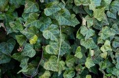 Invasive plant English Ivy Stock Image