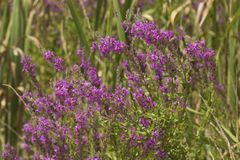Invasive purple loosetrife flowers in wetlands of South Windsor,. Flowers of purple loosestrife, Lythrum salicaria, an invasive species of wetlands, at the Royalty Free Stock Photo