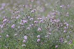 Free Invasive Purple Spotted Knapweed Royalty Free Stock Image - 155655996