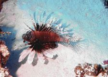Invasive Red Lionfish. A red lionfish flutters above the reef in search of food off the island of Cozumel, thousands of miles from it`s native territory of the Royalty Free Stock Photo