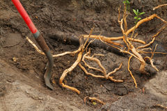 Invasive Roots Royalty Free Stock Images