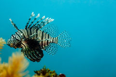 Invasive species Lion Fish, Pterois volitans, swimming Stock Photography