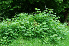 Invasive species on the rise in spring. Young invasive species - knotweed and black locust - on the rise in spring. Still small in May, but real threat in future Stock Photography