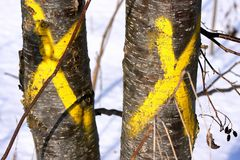 Invasive trees marked for removal. Two invasive buckthorn trees painted with yellow crosses for winter removal. Closeup view and horizontal layout Stock Photo