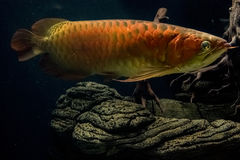Invasive tropical fish. An invasive tropical fish in many tropical countries, including Hawaii Royalty Free Stock Images