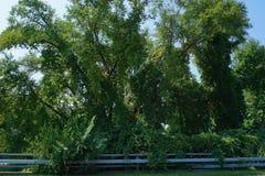 Invasive vines in summer Stock Photos