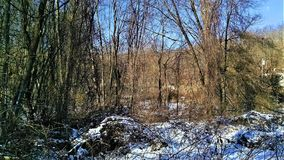 Invasive vinrankor i vinter arkivbild