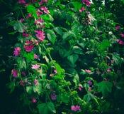 Invaso con la malva dei fiori Fotografia Stock