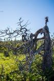 Invecklat gammalt träd på Gros Morne National Park i Newfoundland royaltyfri foto