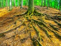 Invecklat rota bokträdskogen för systemet på våren royaltyfri bild