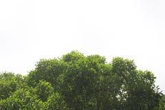 Inverdica i fogli isolati Fotografia Stock