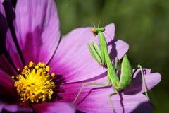 Inverdica il Mantis di preghiera Immagine Stock Libera da Diritti
