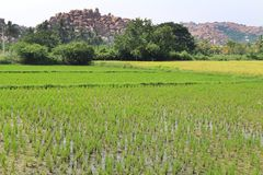 Inverdica il risone nel campo Un'azienda agricola e un'agricoltura asiatiche organiche del riso Giovane riso crescente L'India Fotografia Stock Libera da Diritti