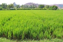 Inverdica il risone nel campo Un'azienda agricola e un'agricoltura asiatiche organiche del riso Giovane riso crescente L'India Fotografie Stock Libere da Diritti