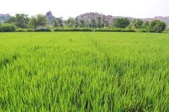 Inverdica il risone nel campo Un'azienda agricola e un'agricoltura asiatiche organiche del riso Giovane riso crescente L'India Immagine Stock Libera da Diritti