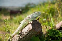 Inverdica l'iguana Immagini Stock Libere da Diritti