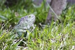 Inverdica l'iguana Fotografia Stock