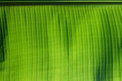 Inverdica la priorità bassa del foglio della banana Immagini Stock