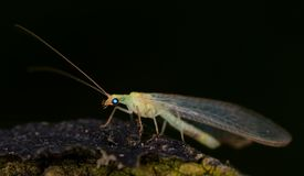 inverdica lacewing Fotografia Stock