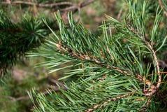 Inverdica le filiali del pino Fotografia Stock