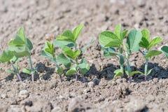 Inverdisca la pianta coltivata del fagiolo della soia nel campo, tempo di molla Fotografia Stock Libera da Diritti